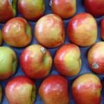 Honey_Crisp_Apples